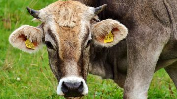 15682525cow-2788835_1920_news_featured