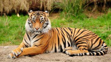 20580619Bengal_Tiger_04