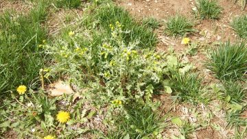 23549697chickweed-and-bare-ground