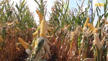 29863073monsanto_Dekalb_corn