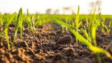 31409383wheat_seedling