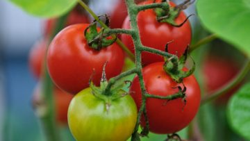 31800187cherry-tomatoes
