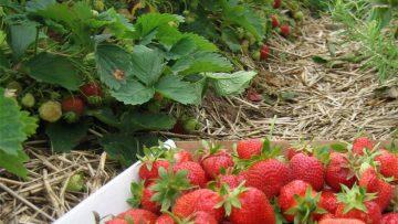 32790202strawberry-fields