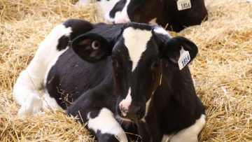 33188453dairy_cow_2018