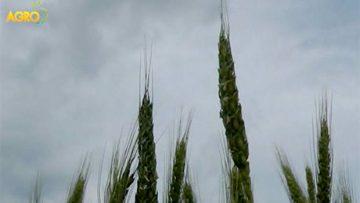 36376276bayer_wheat_seminar