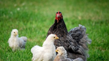37930653when-do-chickens-start-laying-eggs