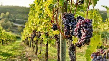 Sangiovese grape vine