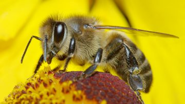41013400bee-covered-in-pollen