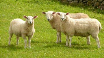 4383301417347524stanza_artist-sheep