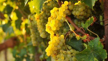 Grape Harvest 8/21/14