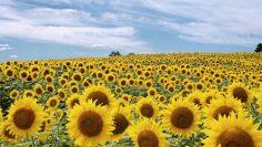 51577539field-of-sunflowers