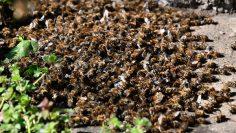 Село Райнино – измрели пчели