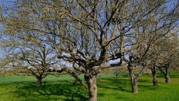 57797582apple-trees-5019016_960_720