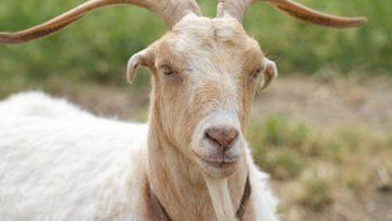 76237078male_goat_big