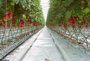 76598033tomatoes_greenhouse