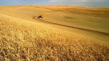 78581880wheat-harvest