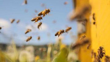 95764339Honey_Bees