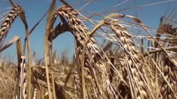 98292363wheat_varieities