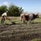 9860761750299577cuban-farmer-working-in-the-field-peasant-tilling-the-ground-with-plow-pulled-by-oxen-in-anap-cooperative-farm-in-guines-cuba-wide-shot_nyb7ygoeq__F0002