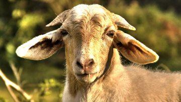 goat_eating_grass