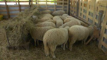 овце агротв