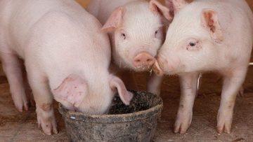 53043270three-piglets-eating-1200×900