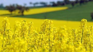 Spring Field Tour 2003 – canola & wheat Client: Sarah Ellis / J