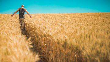 борсова информация, пшеница