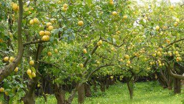 лимони-гора-агротв