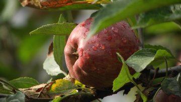 ябълка агро тв
