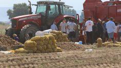 картофи поле