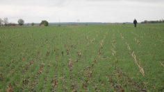 но тилл пшеница