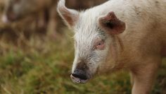 Close shot of a pig with a blurred background
