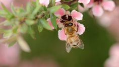 Closeup shot of a bee on pink flowers with a burred background