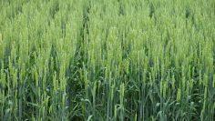 пшеница зелена