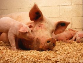 pigs-387204_960_720