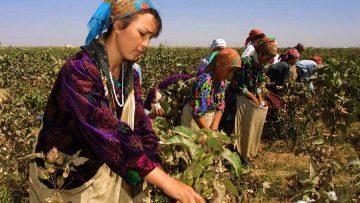 бране на памук узбекистан