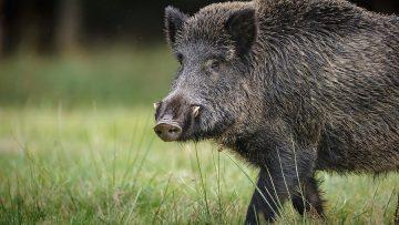 Wild boar in German forest