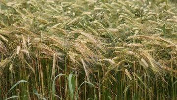 пшеница осилеста