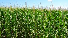 царевица агротв