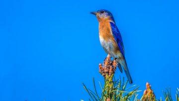 Easter Bluebird
