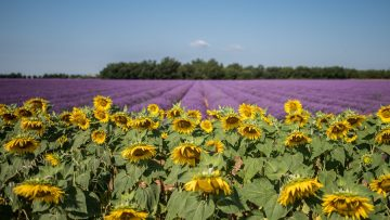 Horizontal shot of sunflower and English lavender field with the background of breathtaking sky
