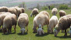 овце агро тв