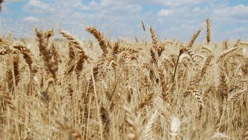 пшеница шуменско