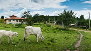 Landscape of two white cows in a farm covered in greenery surrounded by fences and houses in Brazil