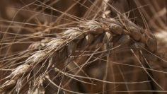 bredwheat