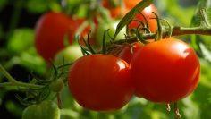 tomato-2643774_960_720