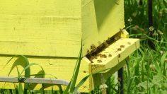 кошер пчели