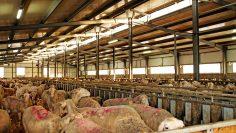 овце в обор