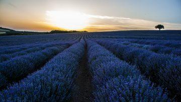 поле лавандула